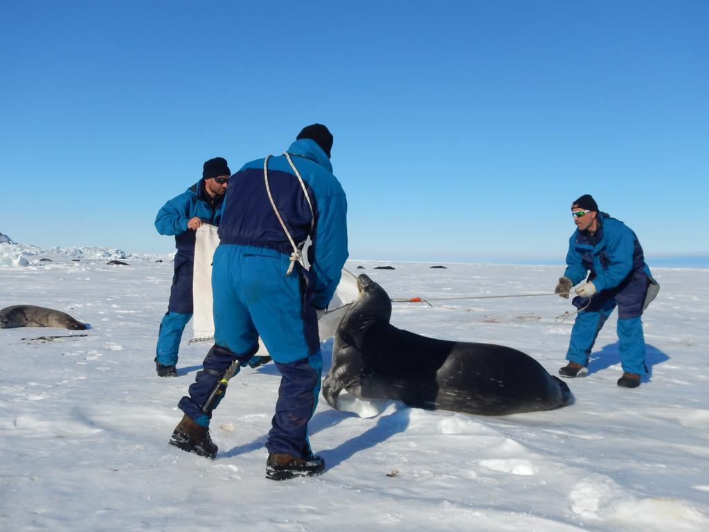 L'unico modo per far calmare la foca, senza addormentarla, per poterle applicare le targhette di riconoscimento, è infilarle la testa in un cappuccio, un'operazione che dura pochi minuti. Copyright PNRA.
