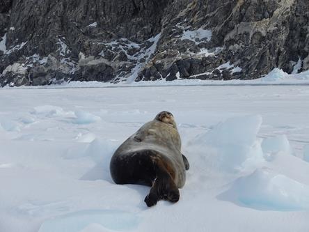 """Le foche di Weddell sono animali """"ciccioni"""". Il loro strato di grasso li protegge dalla dispersione di calore. Copyright PNRA."""